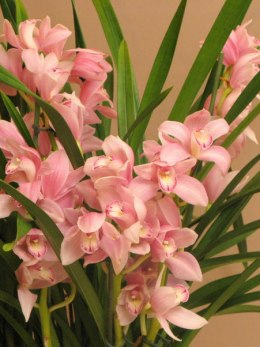 Storczyk Cymbidium DS-80