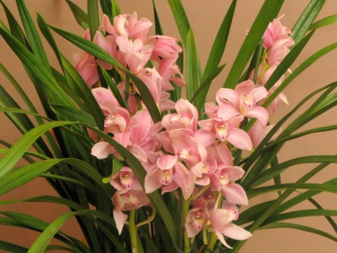 Storczyk Cymbidium DS-14